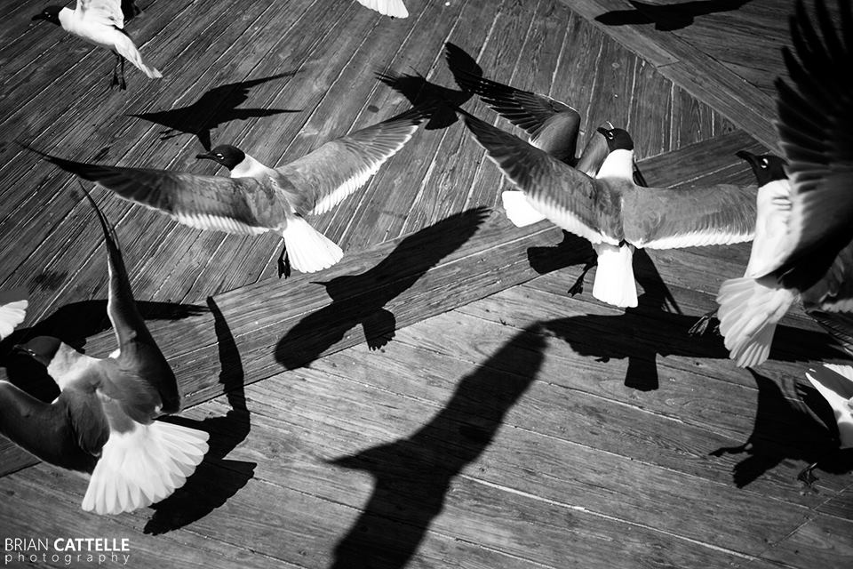 Brian Cattelle Fine Art Black and White Photography Birds Study 01
