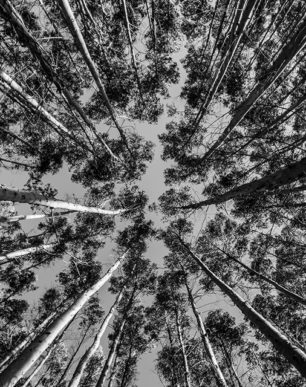Brian Cattelle Fine Art Black and White Photography Eucalyptus Trees Study 01