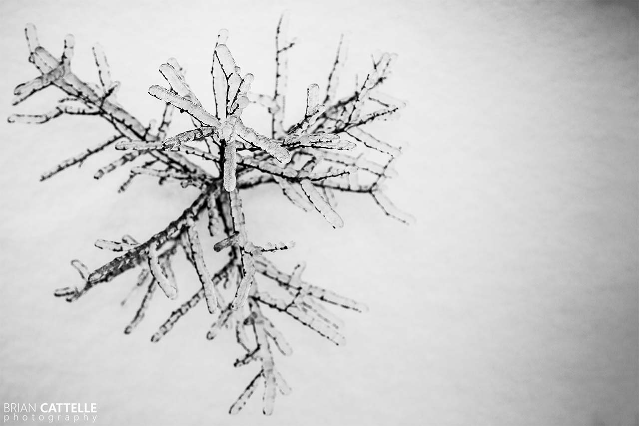 Brian Cattelle Fine Art Black and White Photography Sapling Study 01