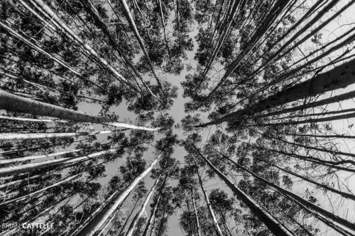 Black and White Nature Photography Eucalyptus Trees