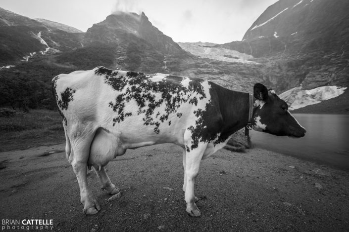 Fine Art Photography Prints Glacial Cow
