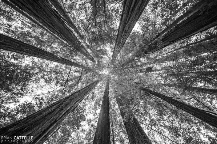 Fine Art Photography Prints Great Basin Redwood Forest