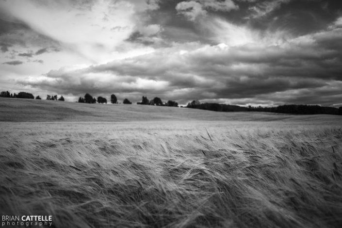 Fine Art Prints Wheat