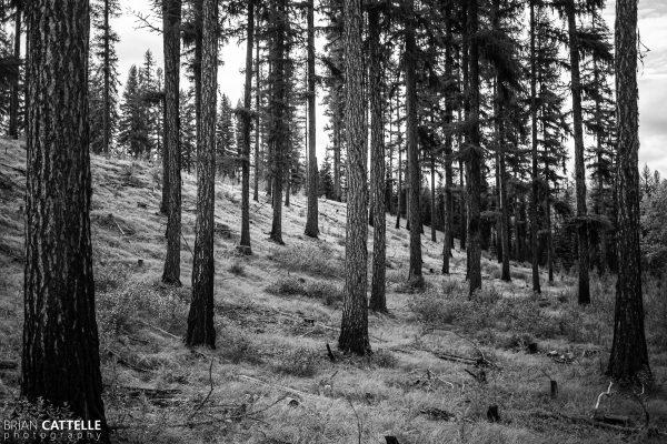 Montana Forest Study 01